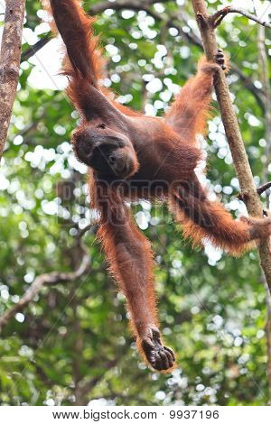 Young female orang utan hanging in a tree poster