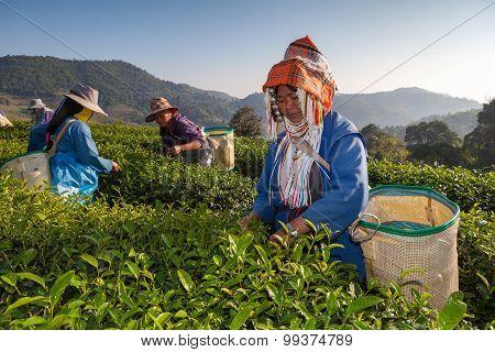 Tea Plantation At Doi Mae Salong , Chiang Rai, Thailand.
