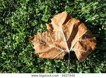 Brown Fallen Leaf