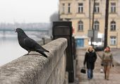 pigeon sitting on the wall. picture taken in krakow / poland poster