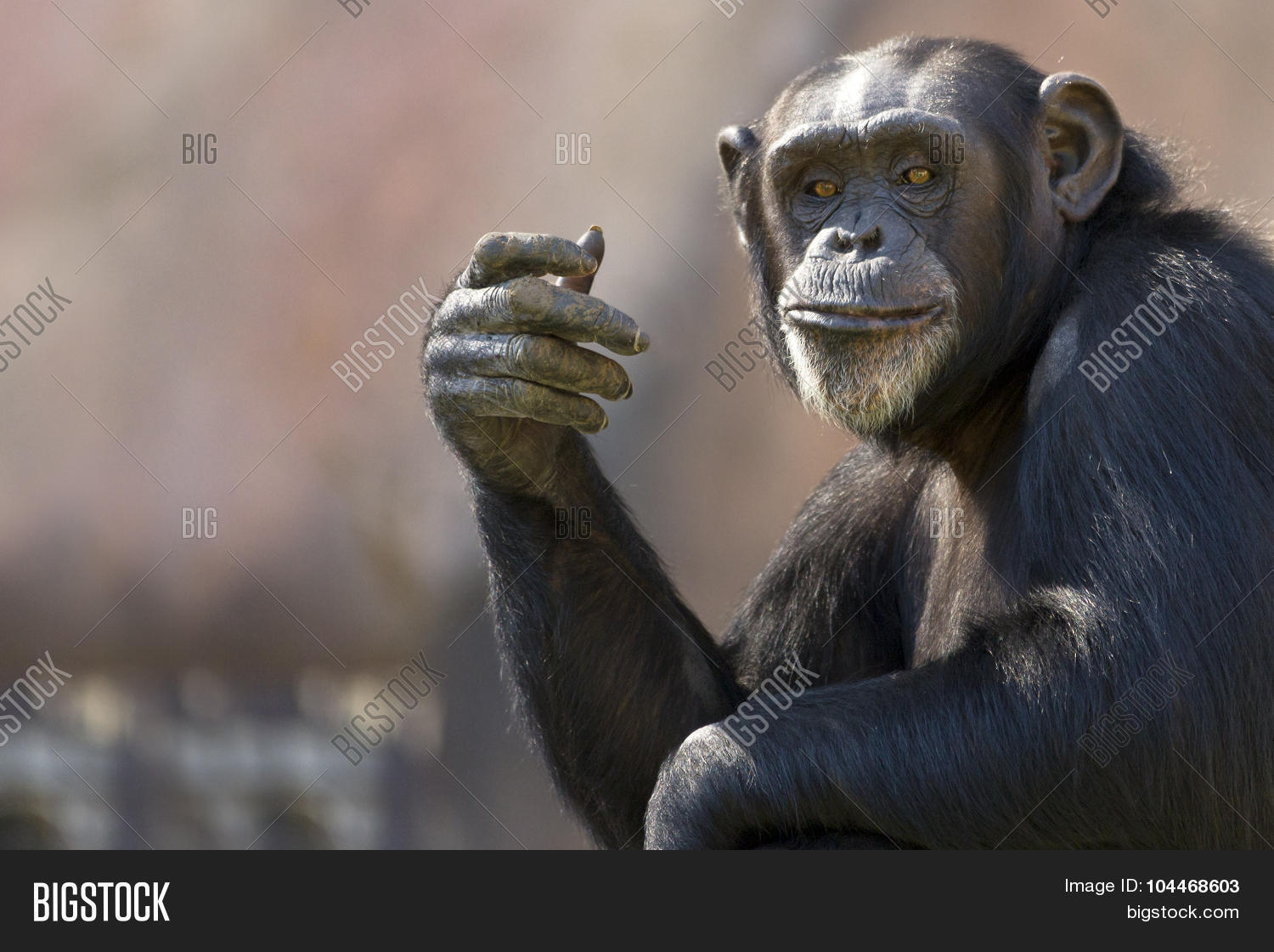 funny chimp image photo free trial bigstock