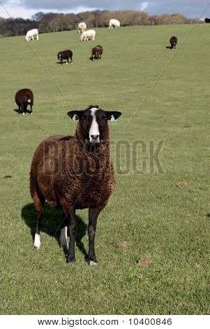 A Brown Zwartbles Rare Breed Sheep
