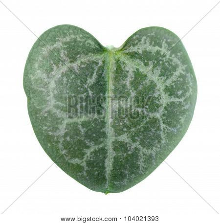 Beautiful Green Leaf Ceropegia Woodii Is Isolated On White Background, Closeup