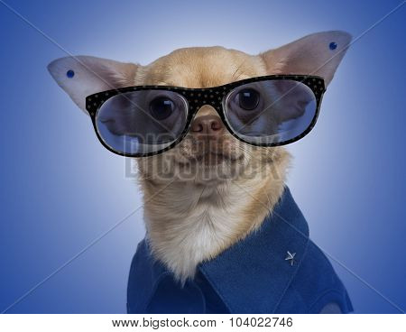 Dressed-up Chihuahua with earrings and wearing glasses on a blue gradient background