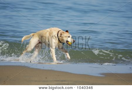 a dog is running out of san francisco bay on a nice fall morning with a yellow ball in its mouth. poster