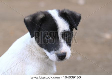 Image muzzle white puppy with black ears. poster
