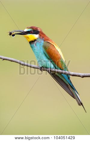 European Bee-eater With A Bee In A Beak