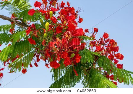 Red Flamboyant Tree