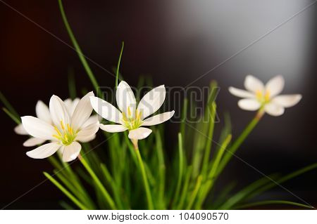 Flowers Rain lily (Zephyranthes white) closeup