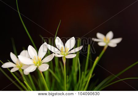 Flowers Rain lily (Zephyranthes white, Candida Herb) closeup