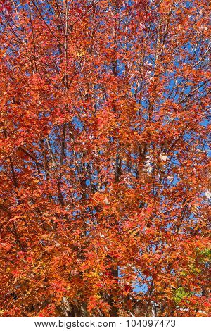 Colourful Orange Maple Tree In The Fall In Canada