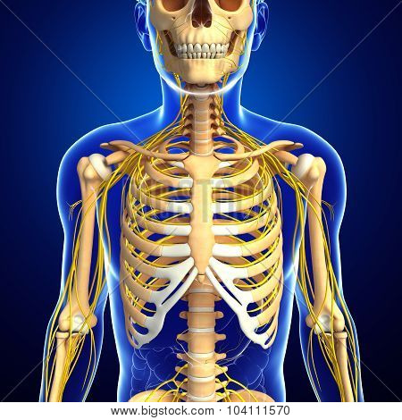 Male Ribcage And Nervous System Artwork
