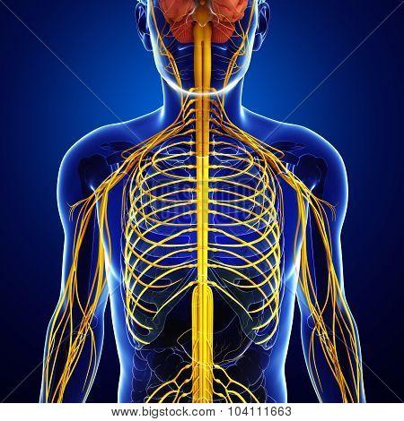 Male Nervous System Artwork