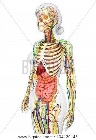 Lymphatic, Skeletal, Nervous And Circulatory System Of Female Body