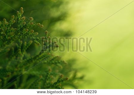 Green Hedge of Thuja Trees. Macro shot thuja branches in the sunlight. Copyspace for text. poster