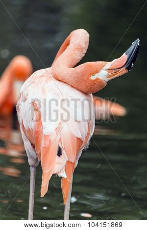 Flamingo with Bended Neck