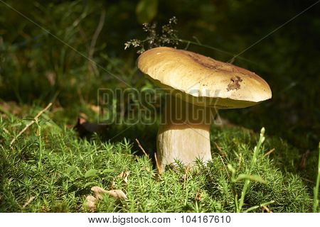 Mushroom growing in the autumn forest