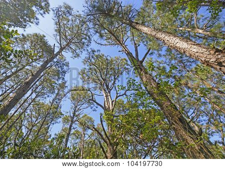 Looking Up Into The Pines