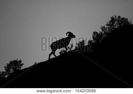 Silhouette Bighorn Sheep