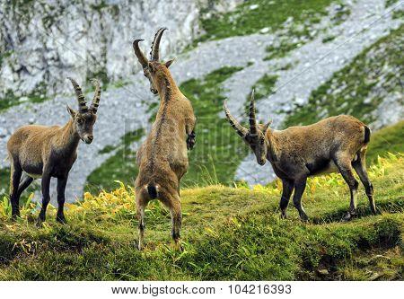 Young male wild alpine, capra ibex, or steinbock