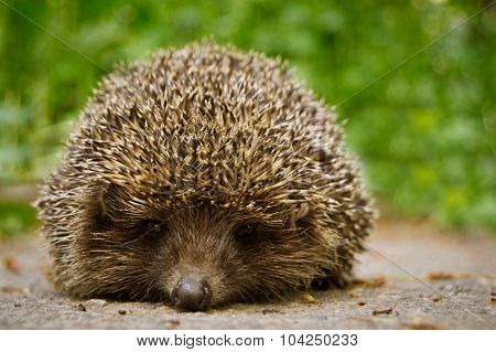 hedgehog sitting on a road amid the meadow looking into the lens