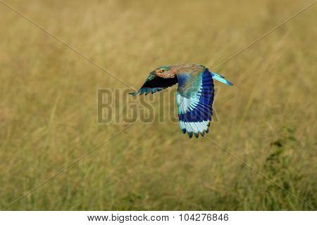 Flying Indian Roller In Fujairah National Dairy Farm In Uae