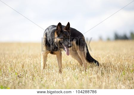 attentive German shepard dog