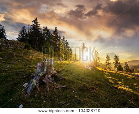 Stump Infront Of Fir Forest On Hillside At Sunset