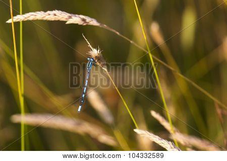 Common Blue Damsel Fly.