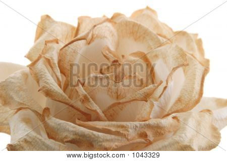 Fading Rose - Close-Up