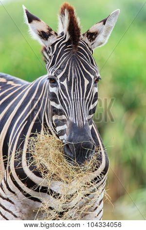 Zebras Gaze Grass In The Open Zoo