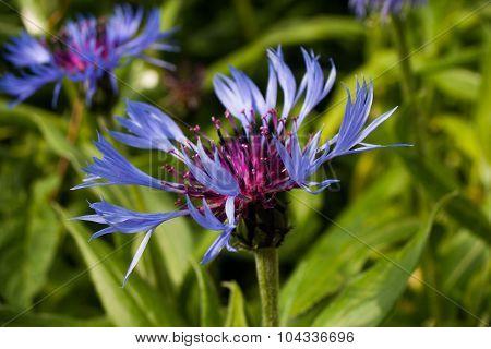 Centaurea Triumfettii, Common Names: Squarrose Knapweed, Is A Plant Belonging To The Genus Centaurea