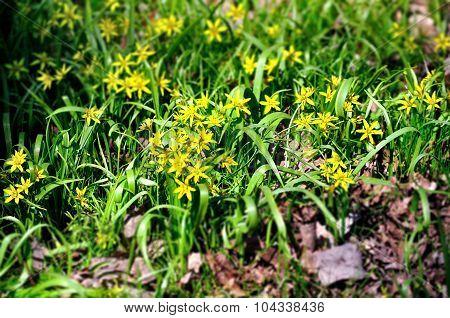 Flowering Gagea Lutea