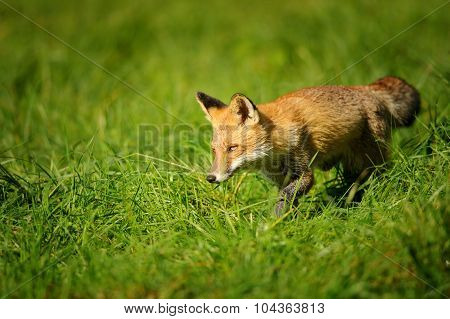 Red fox walking in green grass and sniffing around poster