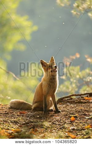 Red fox siitng in autumn backlight during Indian summer looking up with open mouth poster