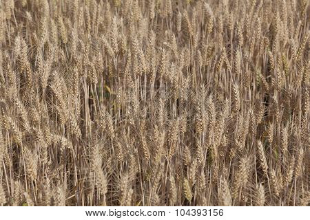 Field Of Wheat, Chamarande, Essonne, France