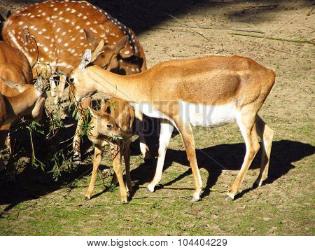 blackbuck female with a baby