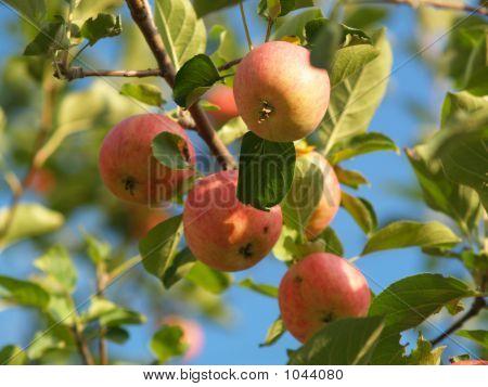 Muskoka_Apples