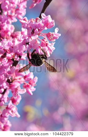 Bumble Bee Hangs Upside Down Pollinating Pink Blossom On Tree
