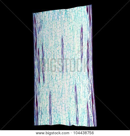 Corn Stem Micrograph