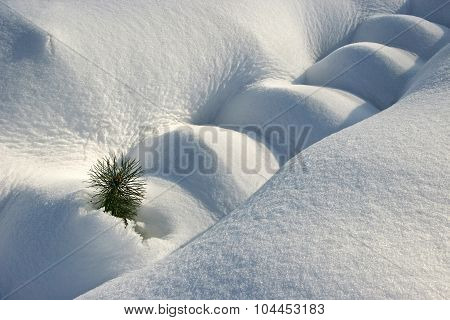 Small Pine Tree Covered With Snow. One Pine Peeking Out Of The Snow On A Sunny Day. The First Hatche