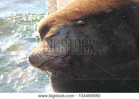 Snoozing Sea Lion