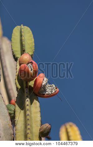 Peruvian apple cactus, Cereus repandus, bears fruit in summer poster