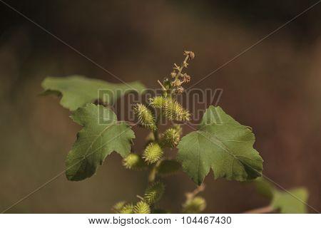 Green sweet chestnut, Castanea sativa