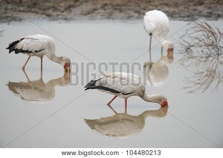 3 Yellow-billed Storks (mycteria Ibis) Foraging In A Waterhole