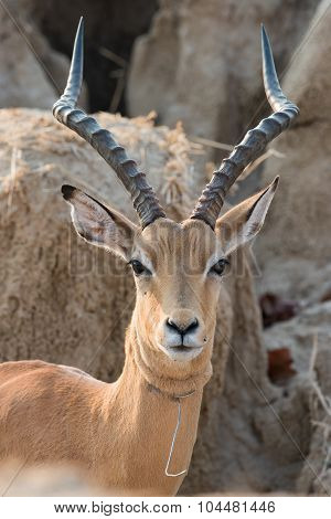 A Male Impala (aepyceros Melampus) That Has Broken Free From A Wire Snare