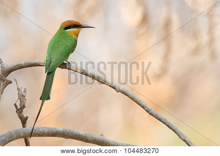 Böhm's Bee-eater (merops Boehmi) Shown From The Back