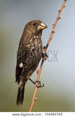Thick-billed Weaver (amblyospiza Albifrons) Female Perched On A Slender Branch