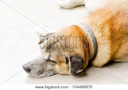 sleepy dog on the floor , Sleepy Dog ,Dog poster