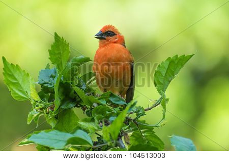 Vivid birds of Seychelles - Red Madagascar Fody (Foudia madagascariensis) sitting on the hibiscus plant poster